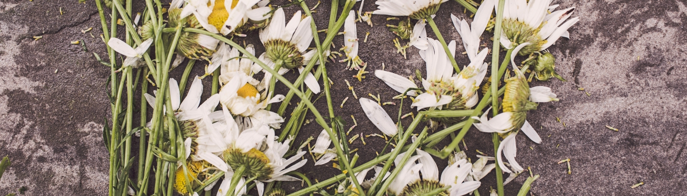 Image Description: a pile of crushed daisies strewn across concrete
